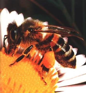 pollen produit de la ruche abeille Apithérapie