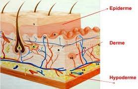 structure peau humaine Cosmétiques naturels