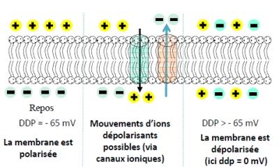 polarisation cellule humaine via membrane plasmique Champs Electromagnétiques Pulsés