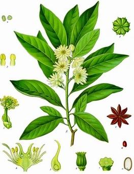 plante medicinale badiane 2 Badiane