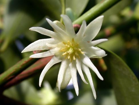 plante medicinale badiane 3 Badiane