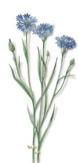 plante medicinale bleuet 2 Bleuet