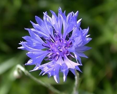 plante medicinale bleuet Bleuet
