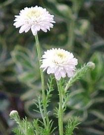 plante medicinale camomille romaine 1 Camomille sauvage