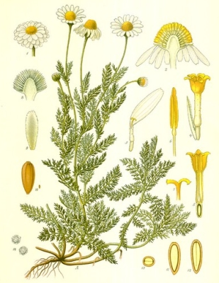 plante medicinale camomille romaine 2 Camomille sauvage