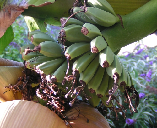 La banane est riche en vitamine B