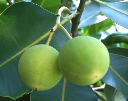 Mangues en croissance, source de vitamines C